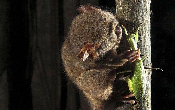 hunting-tarsier