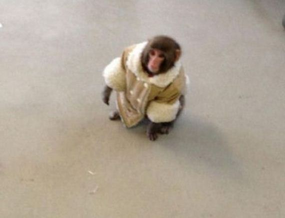 ikea-monkey-20-pics-video