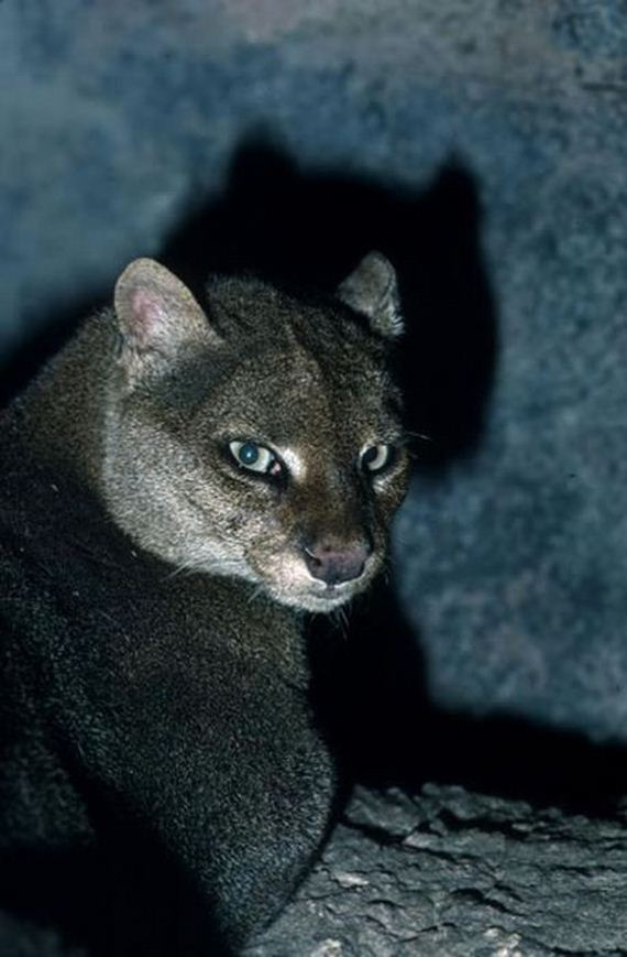 Photos Of Wild Cat Jaguarundi Barnorama