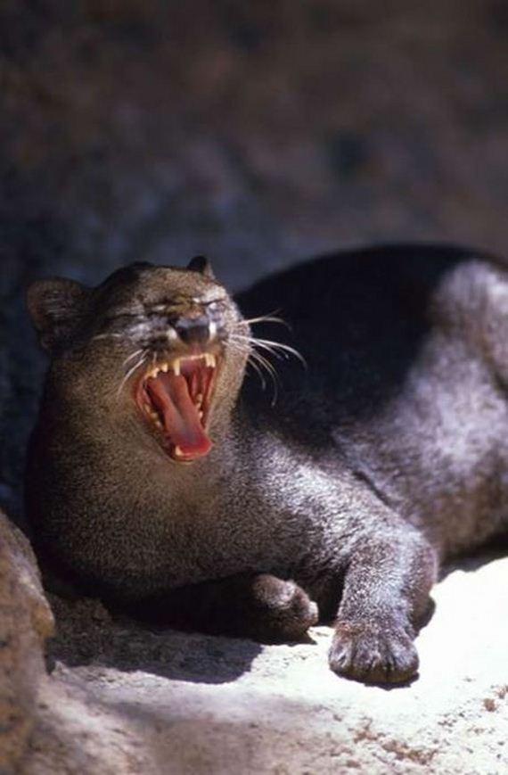 Small Wild Animals: Photos Of Wild Cat Jaguarundi