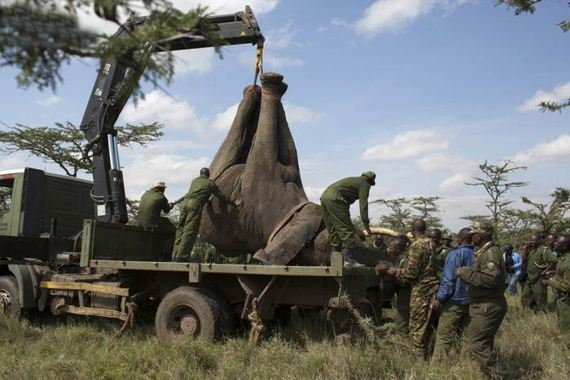 kenya_wildlife_service_wardens_relocating_an_elephant