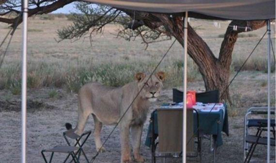 lions_safari