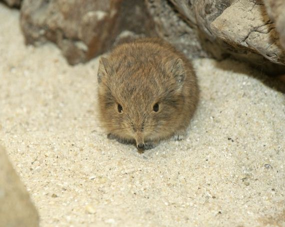 look-at-this-baby-elephant-shrew