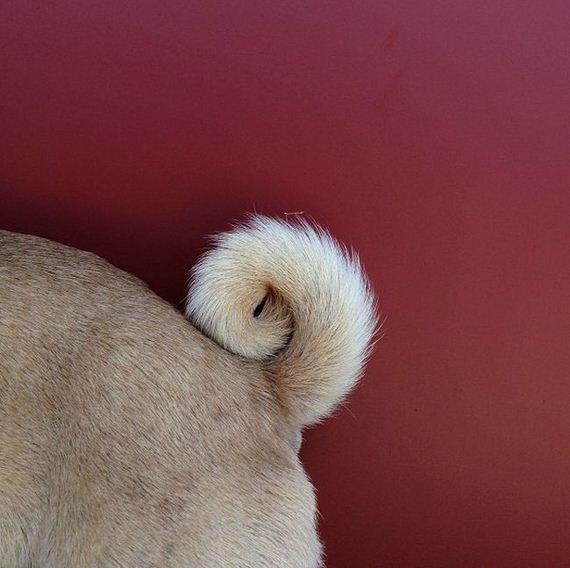 meet_norm_the_photogenic_pug