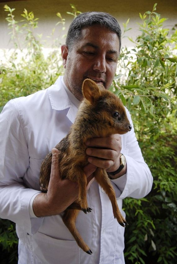 one-month-old-orphaned-pudu