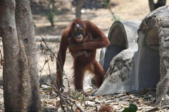 orangotango-parto