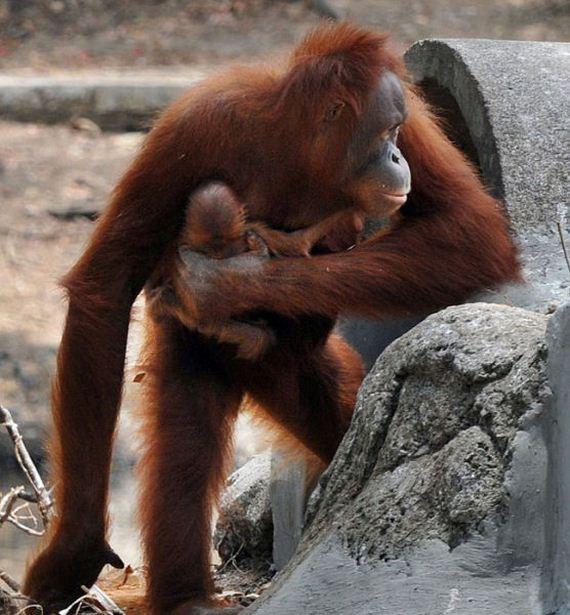 orangutan-birth