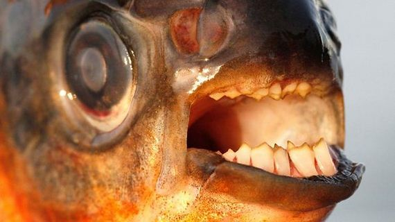 pacu_fish