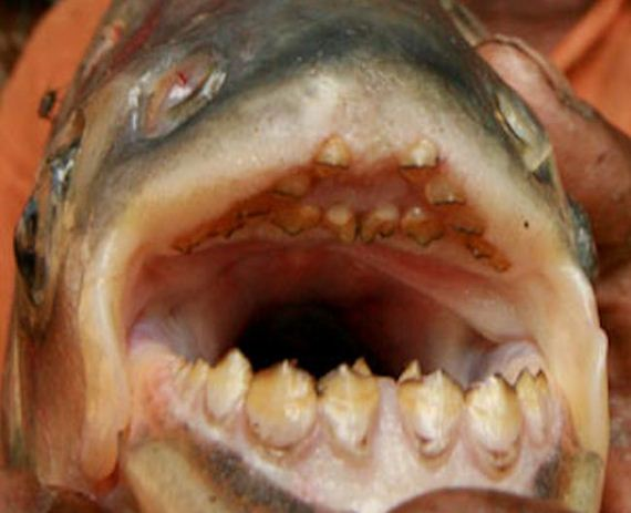 Pacu fish barnorama for Pacu fish teeth