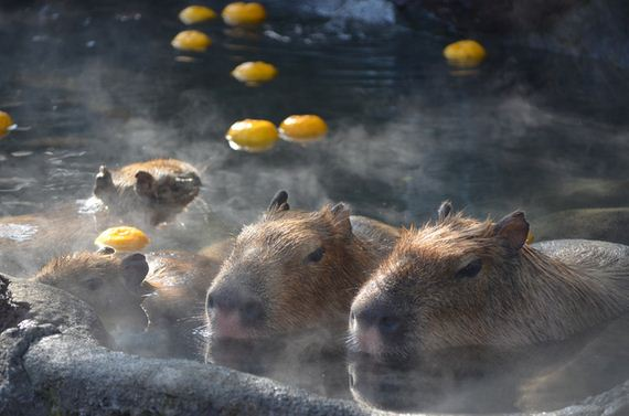 photos-of-capybaras-relaxing-in-japanese