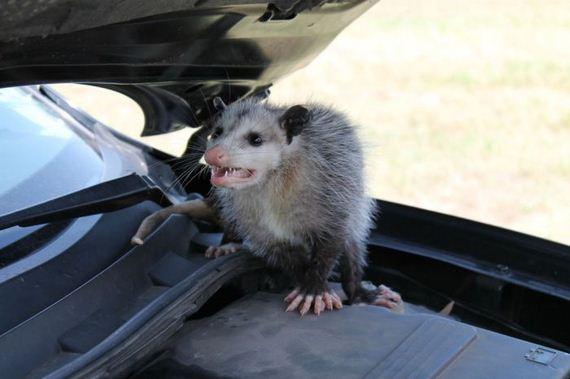 possum_under_the_hood