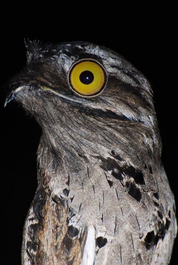 Potoo Bird Photos Barnorama
