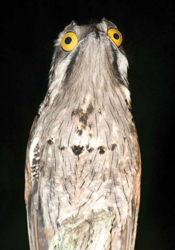 [Image: 03-potoo_bird.jpg]