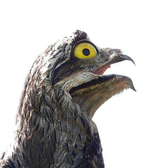 potoo_bird