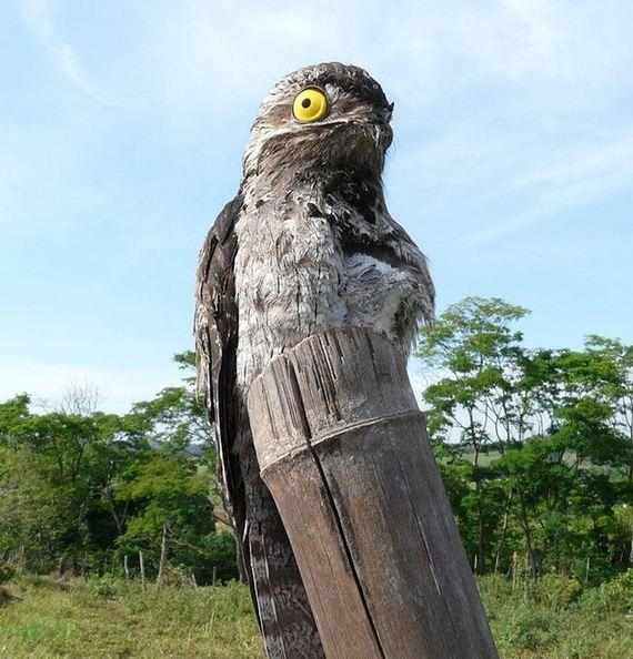 [Image: 10-potoo_bird.jpg]