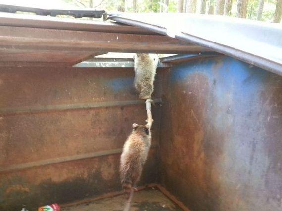 raccoons_01
