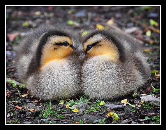 reasons-why-ducklings-are
