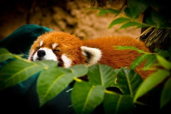red-pandas-taking-advantage