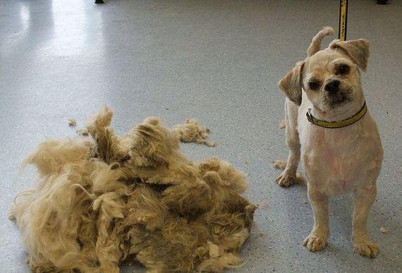 shaved_dog