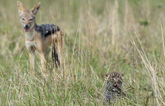 small_leopard