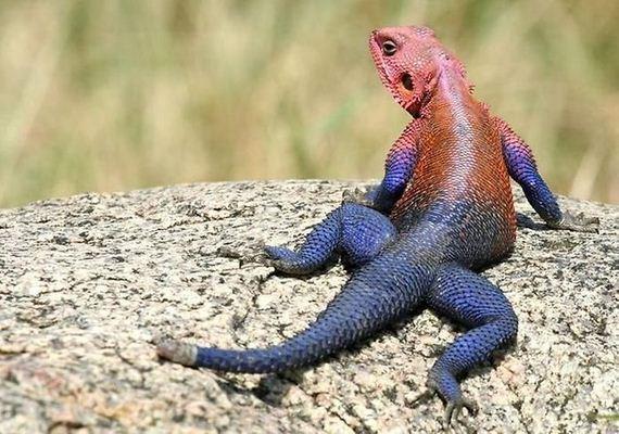 spider-man-lizard-agama-mwanzae