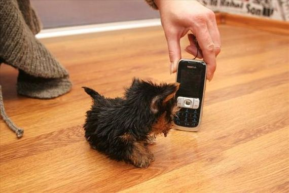 terrier-meysi-is-the-worlds-smallest-