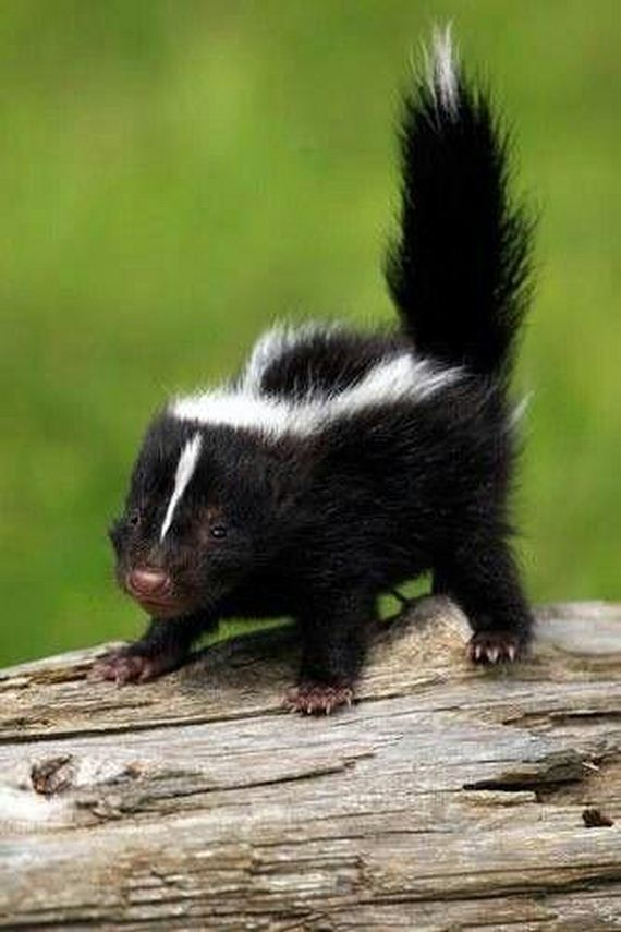 Baby Skunks That Will Make You Feel Better About Life - Barnorama