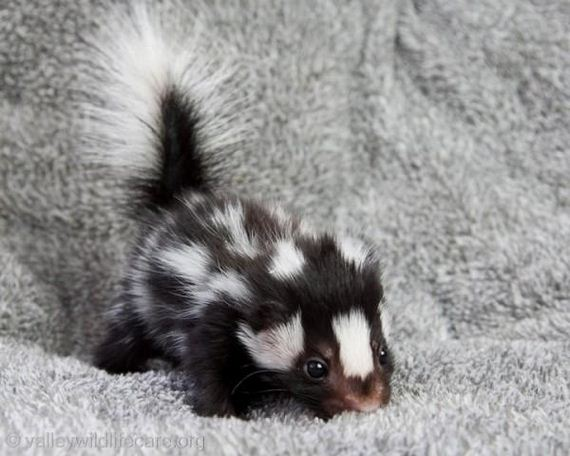 Baby-Skunks