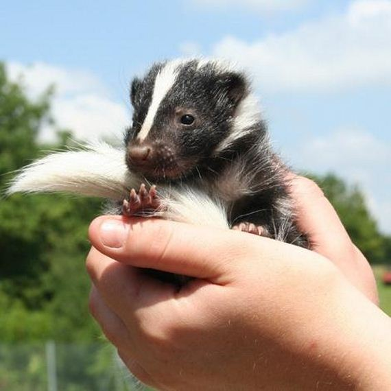 Baby Skunks That Will Make You Feel Better About Life ...