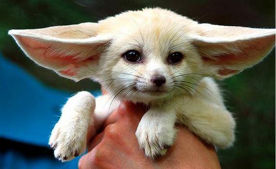 Fennec Fox-