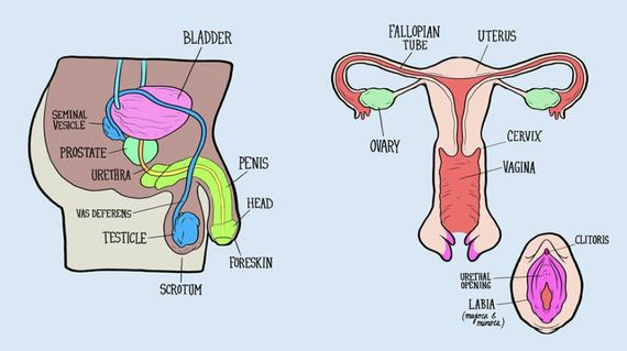 adults-asked-label-reproductive-system