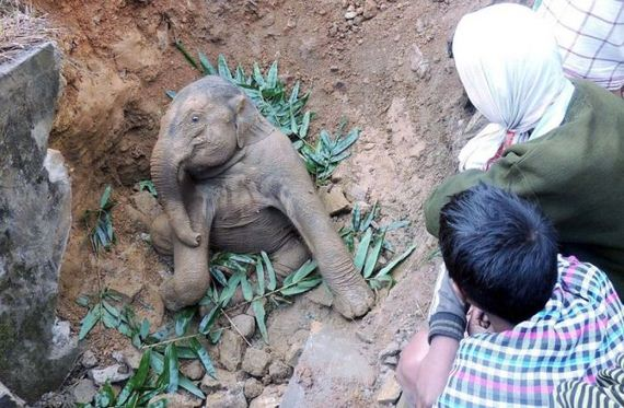 Baby Elephant Cried For Five Hours Barnorama