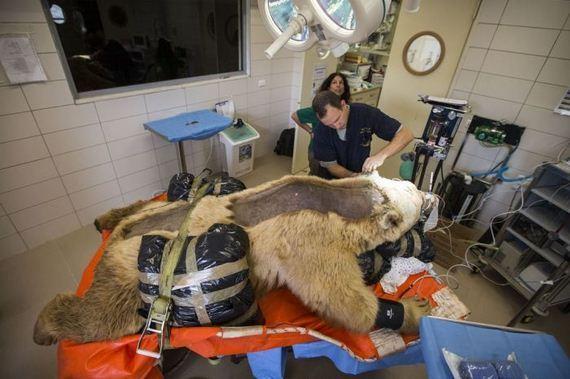 bear_surgery