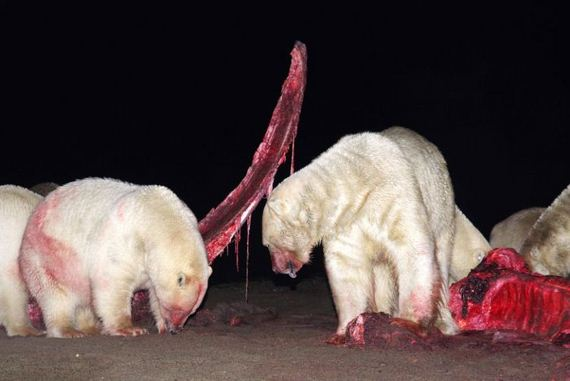 bloody_faced_polar_bears