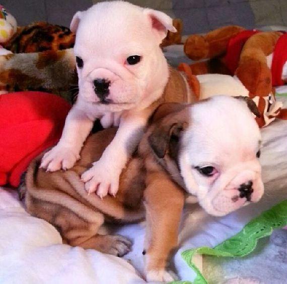 bulldog_puppies