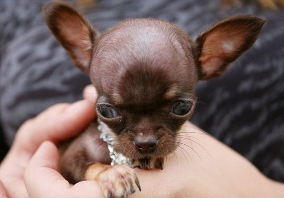 chihuahua_milly