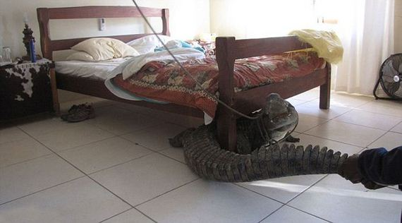 crocodile_hidden_under_his_bed