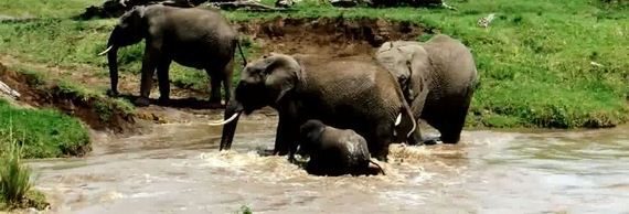 drowning-elephant