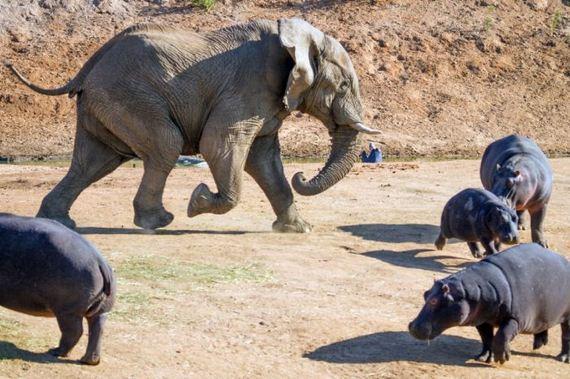 elephant_behemoth