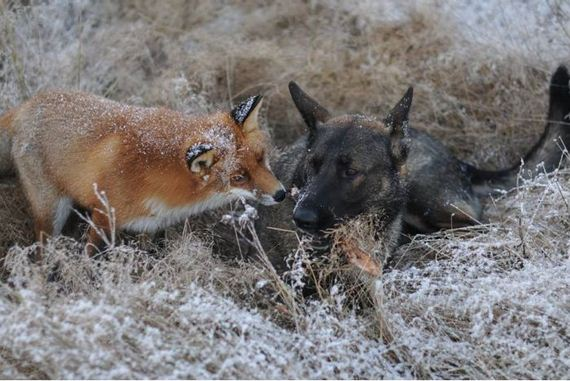 fox_and_dog