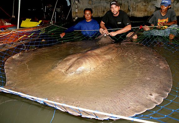 giant-stingray