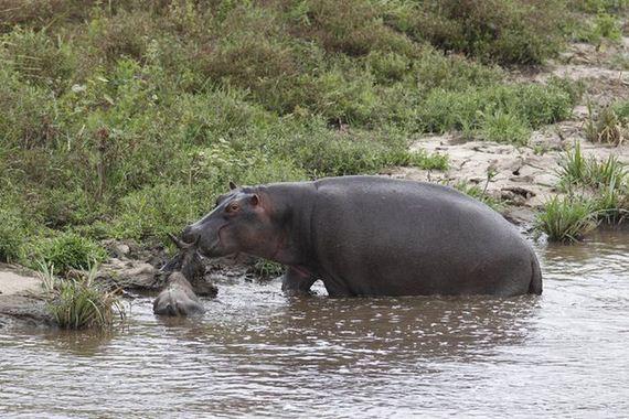 hippo_saves