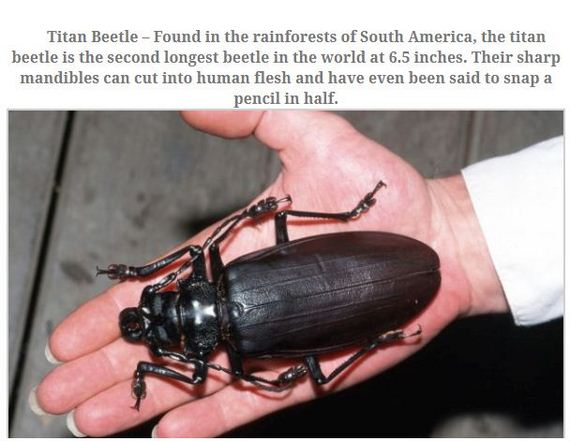 largest_insects_in_the_world