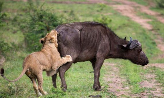 lion_and_buffalo