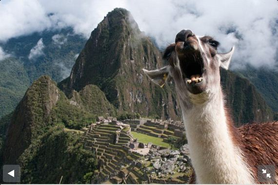 llamas-are-majestic
