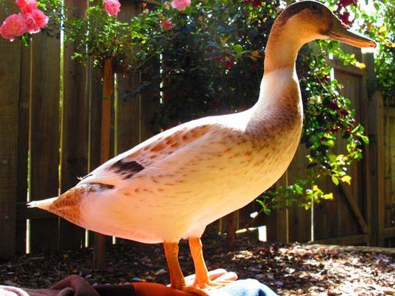 newborn-goose
