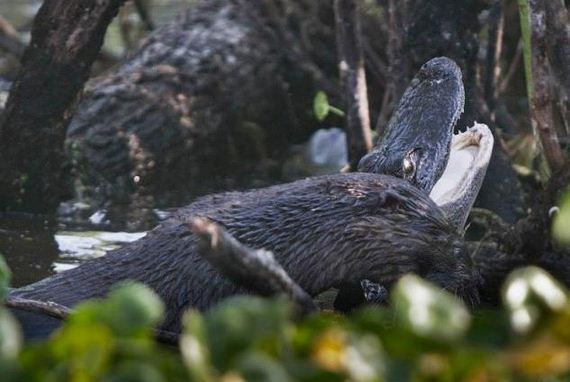 otter-eats-alligator
