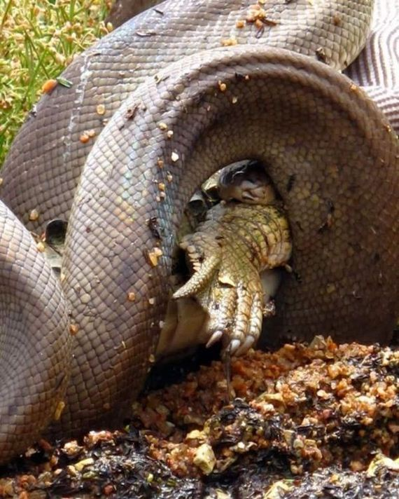 python_eating_crocodile