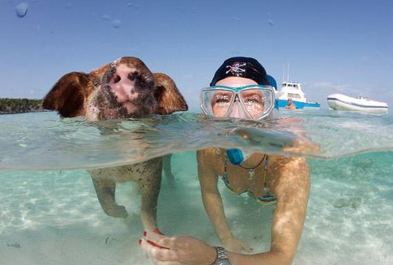 swimming_pigs