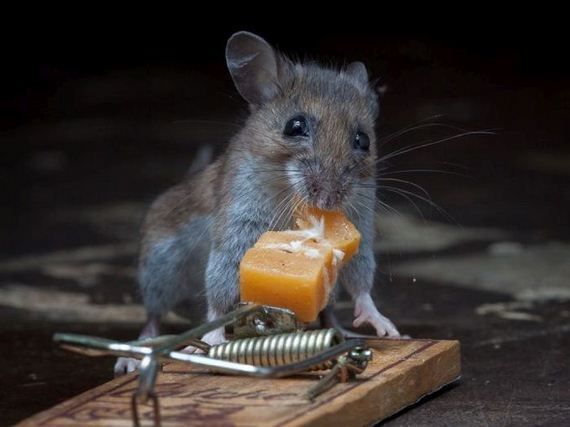 this-mouse-does-battle-with-a-mousetrap
